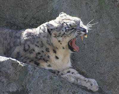 Snow Leopard Yawn Art Print by Neal Eslinger