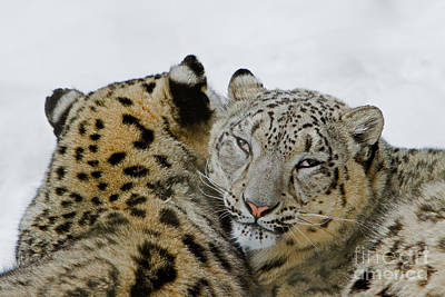 Photograph - Snow Leopards by Butch Lombardi