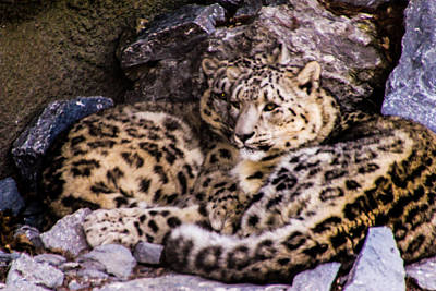 Art Print featuring the photograph Snow Leopards by Cathy Donohoue