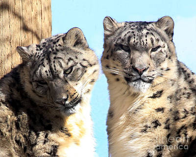 Photograph - Snow Leopard's by Deborah Smith