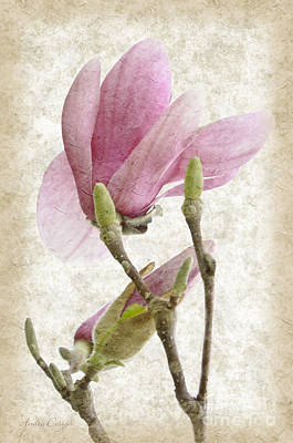Magnolia Photograph - Snow Magnolia Painterly 3 by Andee Design