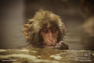 Photograph - Snow Monkeys-emm That Tastes Good by Robyn Saunders