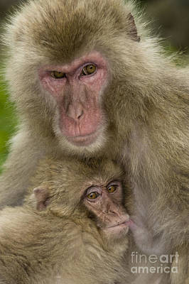 Photograph - Snow Monkeys, Mother With Baby, Japan by John Shaw