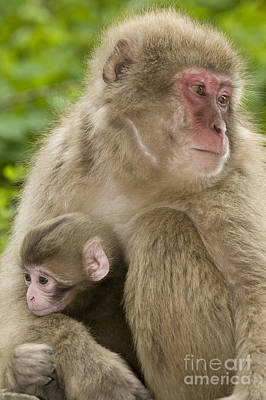 Photograph - Snow Monkeys, Mother With Her Baby by John Shaw