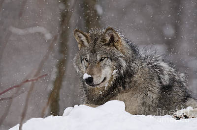 Animals Royalty-Free and Rights-Managed Images - Snow Nose by Wolves Only