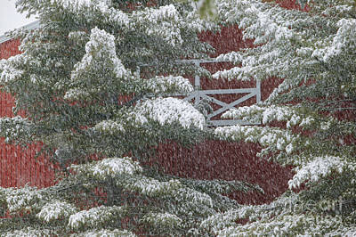 Photograph - Snow On A Pine Tree With A Red Barn. by Don Landwehrle