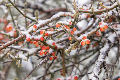 Photograph - Snow On Desert Mistletoe Berries 3 by Marianne Jensen