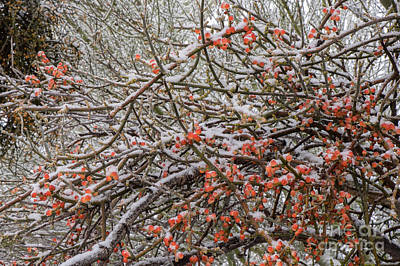 Photograph - Snow On Desert Mistletoe Berries by Marianne Jensen