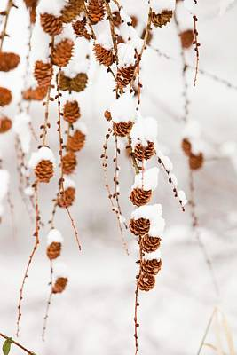 Snow Seeds Photograph - Snow On Larch Cones by Ashley Cooper