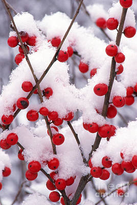 Photograph - Snow On Winterberry by Larry West