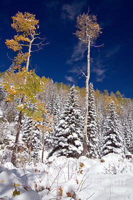 Photograph - Snow On Yellow Aspens by Martha Marks
