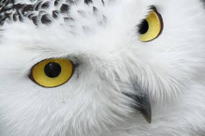 Snow Owl Eyes Art Print