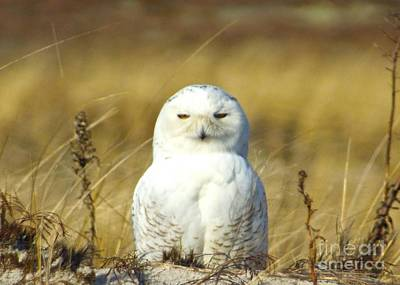 Photograph - Snow Owl On Cape Cod  by Amazing Jules