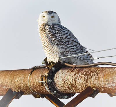 Photograph - Snow Owl Up Close by Ricky L Jones
