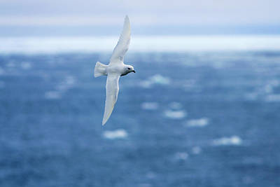 Fluttering Photograph - Snow Petrel, Antarctica by Dave Walsh