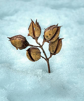 Photograph - Snow Pods by Lara Ellis