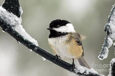 Photograph - Snow Pose by Karin Pinkham