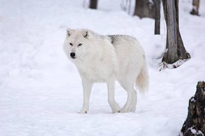 Snow Prowl Original