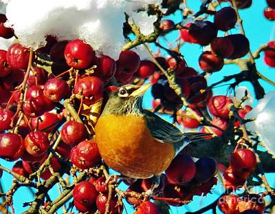 Photograph - Snow Robin And Crabapples by Judy Via-Wolff