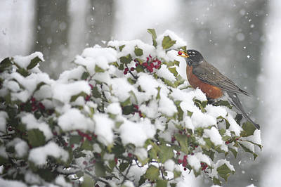 Photograph - Snow Robin by Terry DeLuco