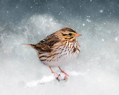 Photograph - Snow Sparrow by Jai Johnson