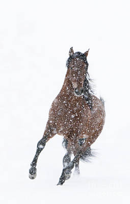 Horse Snow Photograph - Snow Stallion Trots by Carol Walker