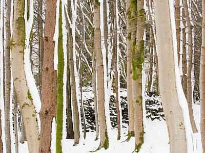 Snow Stuck To East Side Of Tree Trunks Art Print by Ashley Cooper
