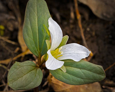 Photograph - Snow Trillium by Jack R Perry