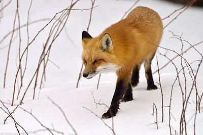 Photograph - Snow Walker by Joshua McCullough
