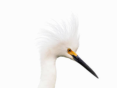 Print featuring the photograph Snow White Egret by Phil Stone