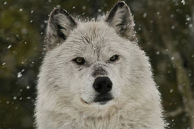 Photograph - Snow Wolf by Steve McKinzie