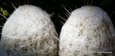 Photograph - Snowball Cotton Cactus by Jeff Lowe