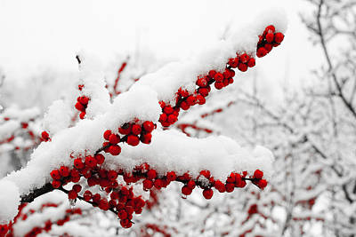 Photograph - Snowberries by Michael Porchik