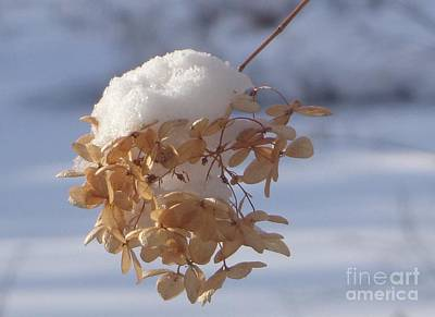 Photograph - Snowcapped Flower                by Christina Verdgeline