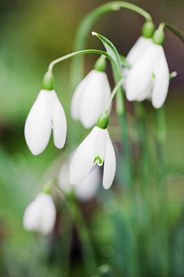 Snowdrops Wall Art - Photograph - Snowdrop (galanthus Sp.) by Gustoimages/science Photo Library