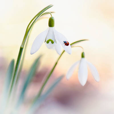Photograph - Snowdrop Lady by Sarah-fiona  Helme