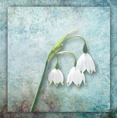 Snowdrop Art Print by Lynn Bolt