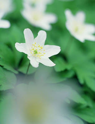 Snowdrops Wall Art - Photograph - Snowdrop Windflower (anenome Sylvestris) by Rachel Warne/science Photo Library