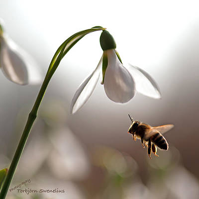Snowdrops And The Bee Art Print by Torbjorn Swenelius