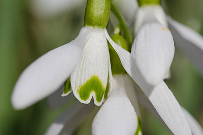 Photograph - Snowdrops by Andreas Levi