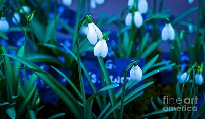 Photograph - Snowdrops by David Warrington
