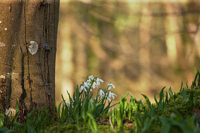 Gatehouse Photograph - Snowdrops  Galanthus  Blossoming by John Short