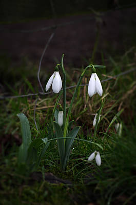 Photograph - Snowdrops by Spikey Mouse Photography