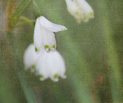 Photograph - Snowdrops by Katie Wing Vigil