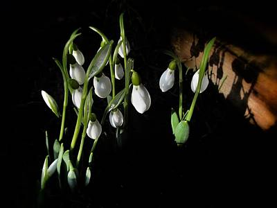 Snowdrops Wall Art - Photograph - Snowdrops by Marianna Mills