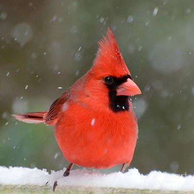 Photograph - Snowflake Cardinal by Kerri Farley