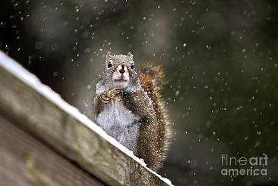 Photograph - Snowflake Squirrel by Karin Pinkham