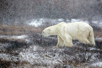 Bear Photograph - Snowing Time by Alessandro Catta