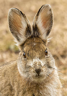 Photograph - Snowshoe Ears I by Christopher Burnett