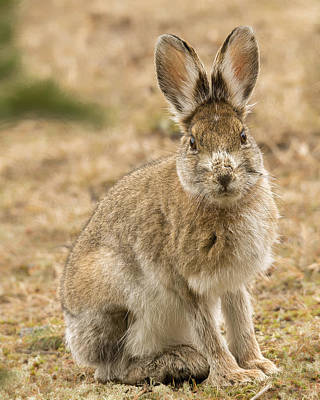 Photograph - Snowshoe Hare Alert by Christopher Burnett